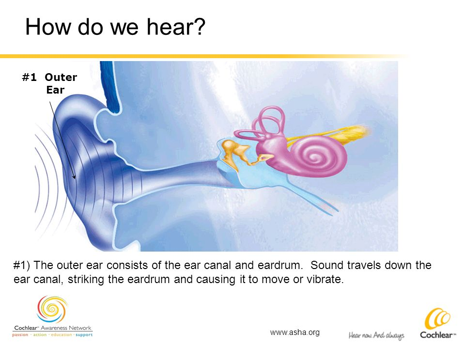 How do we hear #1 Outer. Ear. #1) The outer ear consists of the ear canal and eardrum. Sound travels down the.