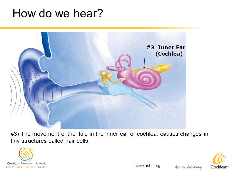 How do we hear #3 Inner Ear. (Cochlea)