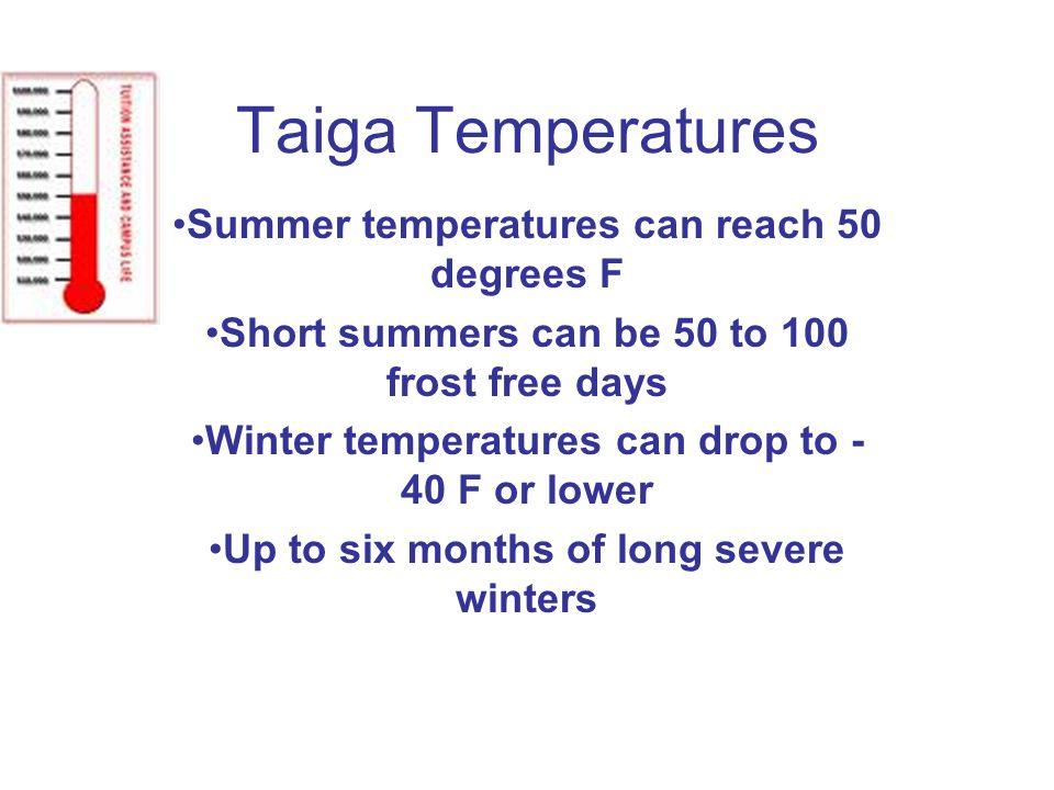 Taiga Temperatures Summer temperatures can reach 50 degrees F