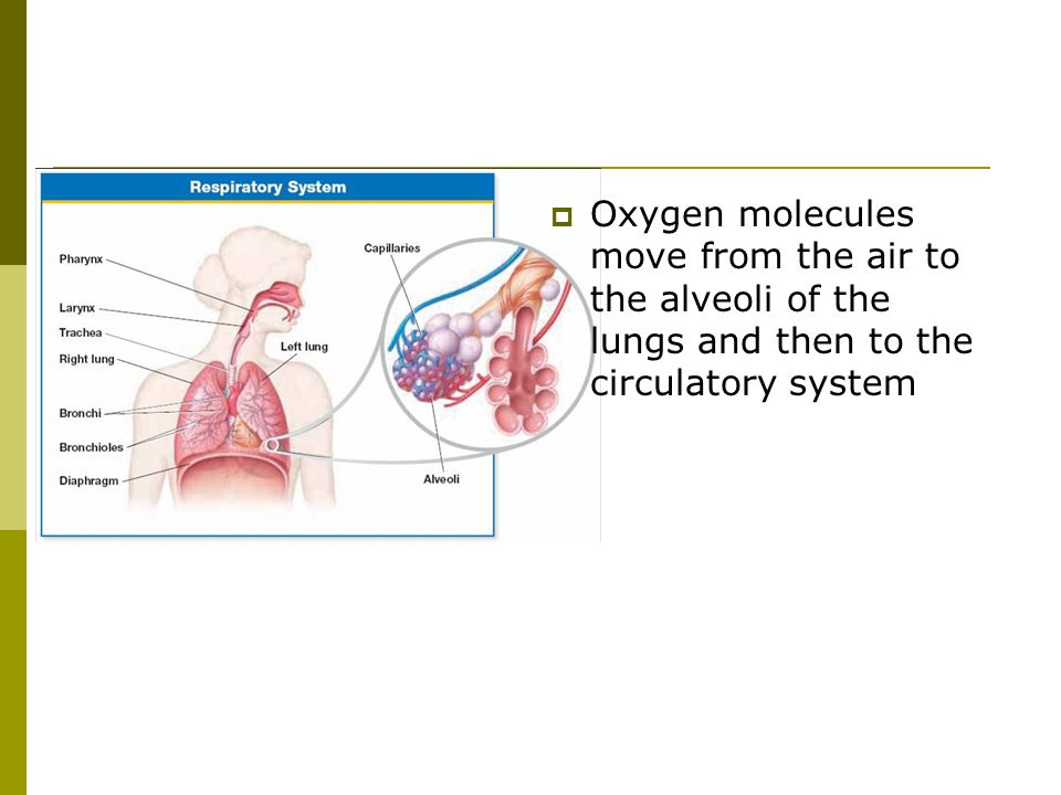 Oxygen molecules move from the air to the alveoli of the lungs and then to the circulatory system