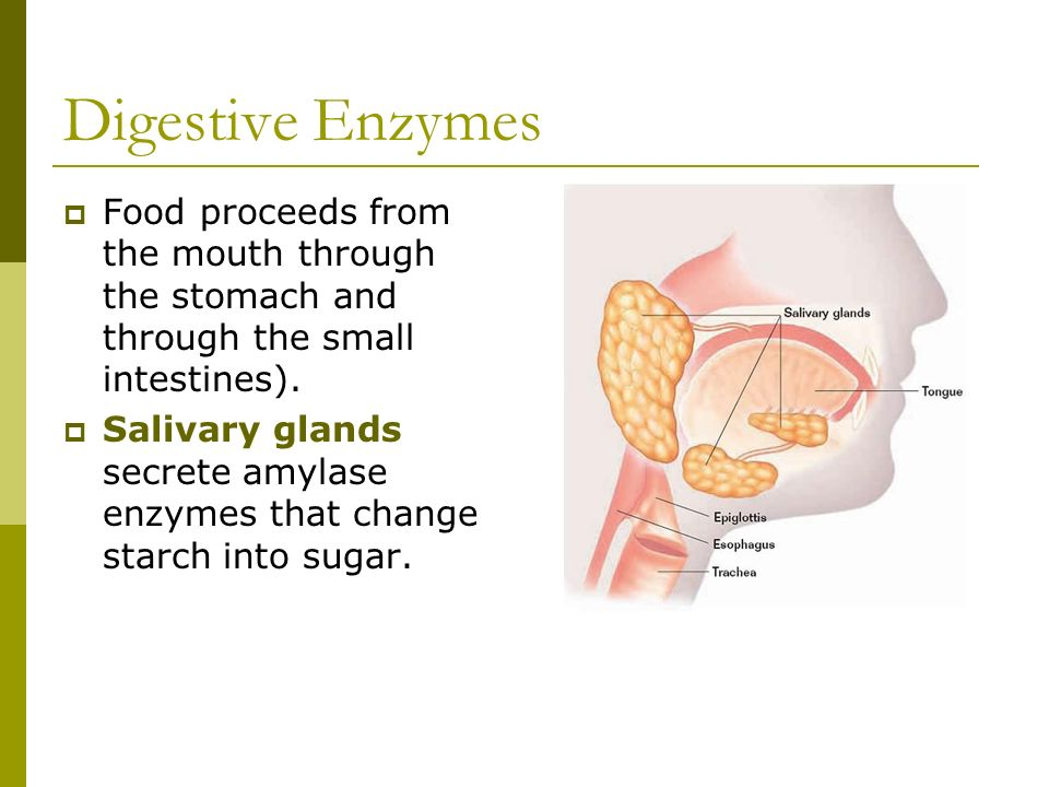 Digestive Enzymes Food proceeds from the mouth through the stomach and through the small intestines).