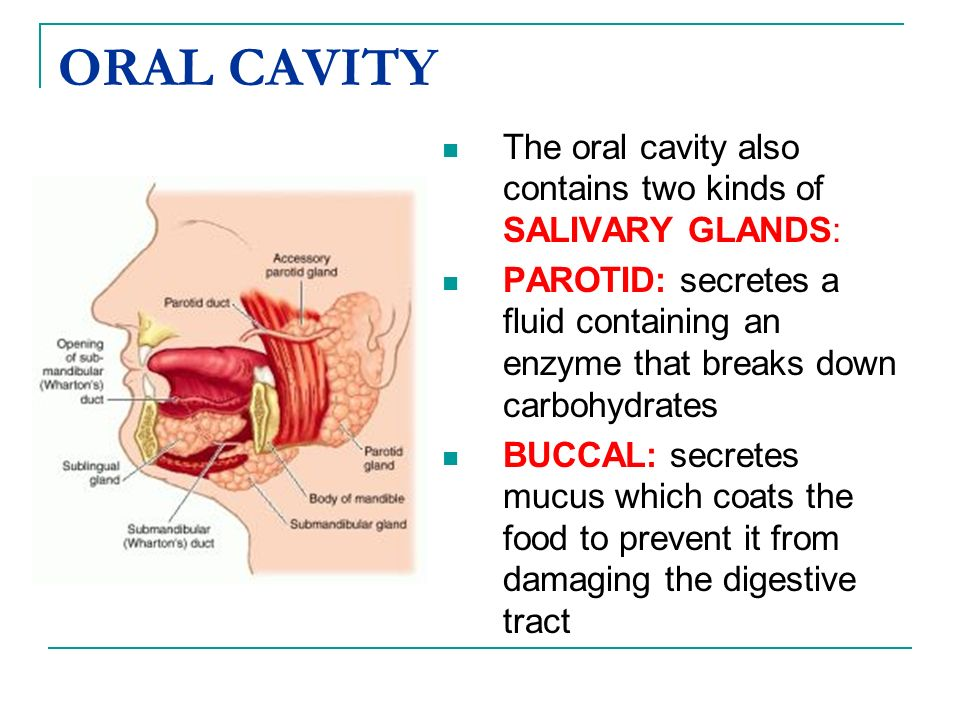ORAL CAVITYThe oral cavity also contains two kinds of SALIVARY GLANDS: PAROTID: secretes a fluid containing an enzyme that breaks down carbohydrates.