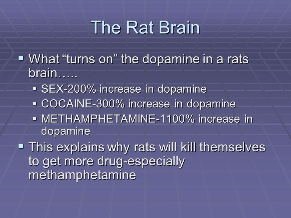 The Rat Brain What turns on the dopamine in a rats brain…..