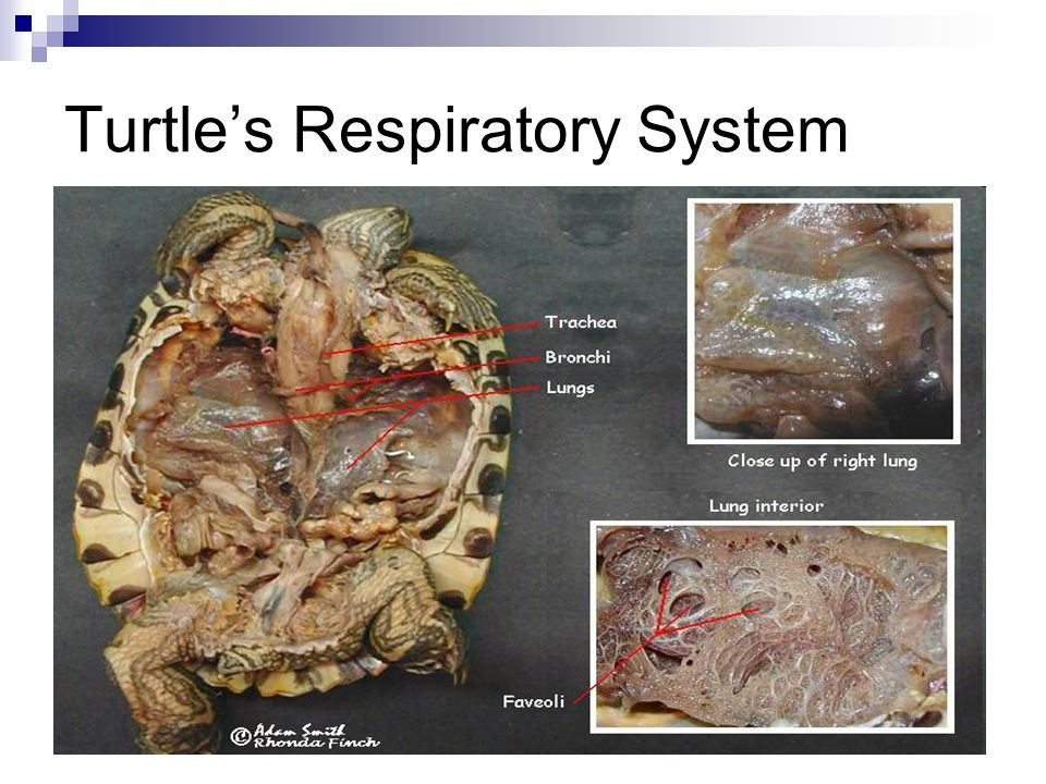 Turtle's Respiratory System