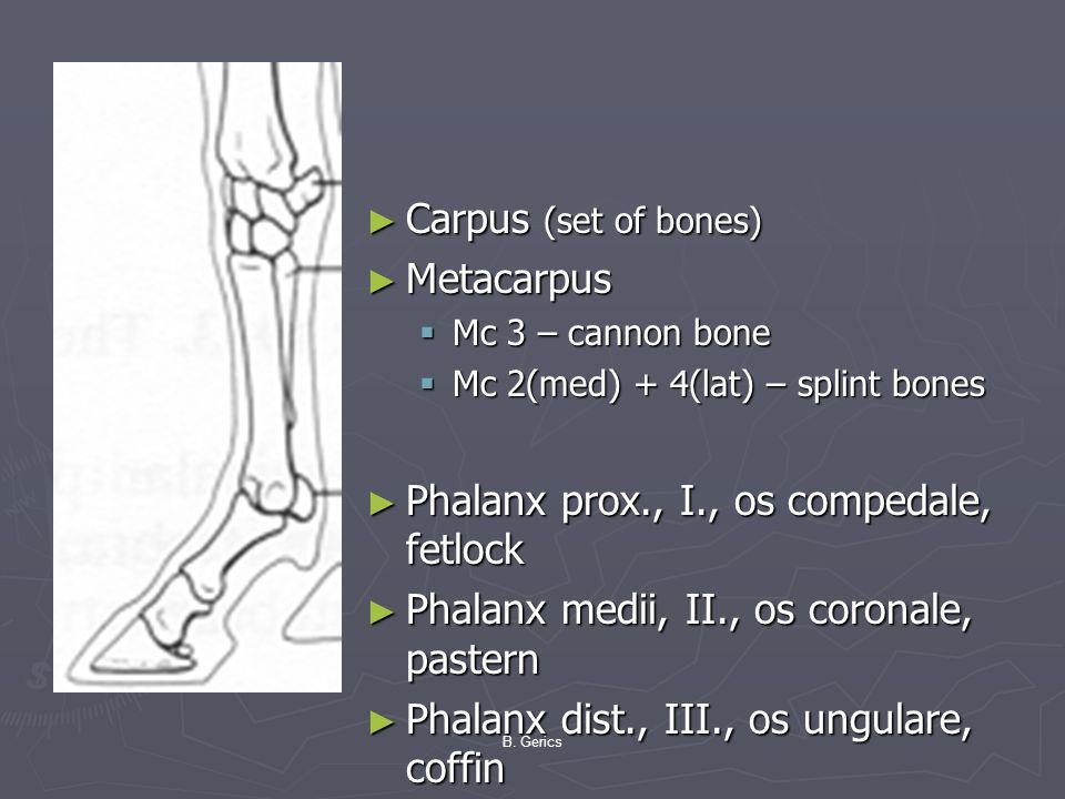 Phalanx prox., I., os compedale, fetlock