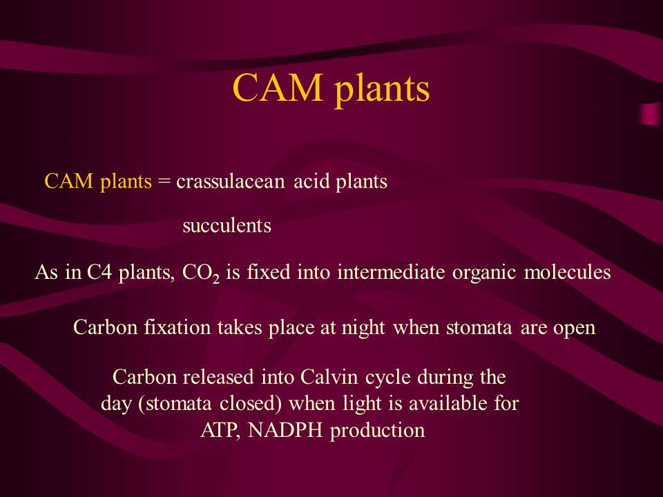 CAM plants CAM plants = crassulacean acid plants succulents