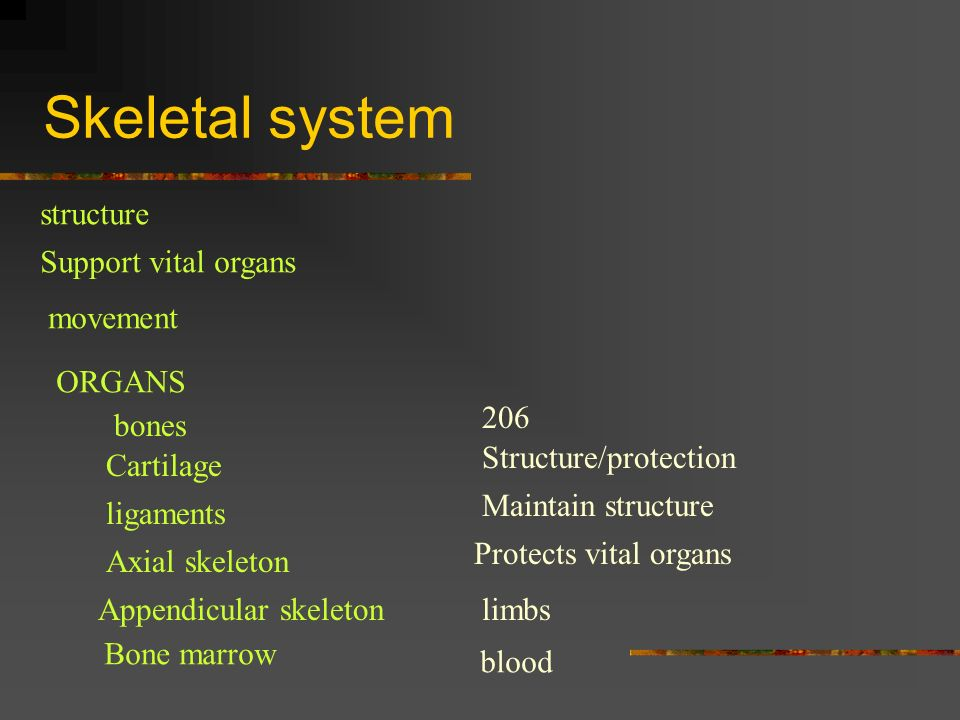 Skeletal system structure Support vital organs movement ORGANS 206