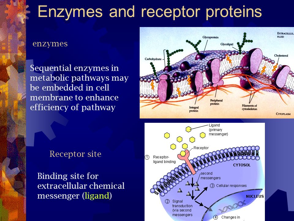 Enzymes and receptor proteins