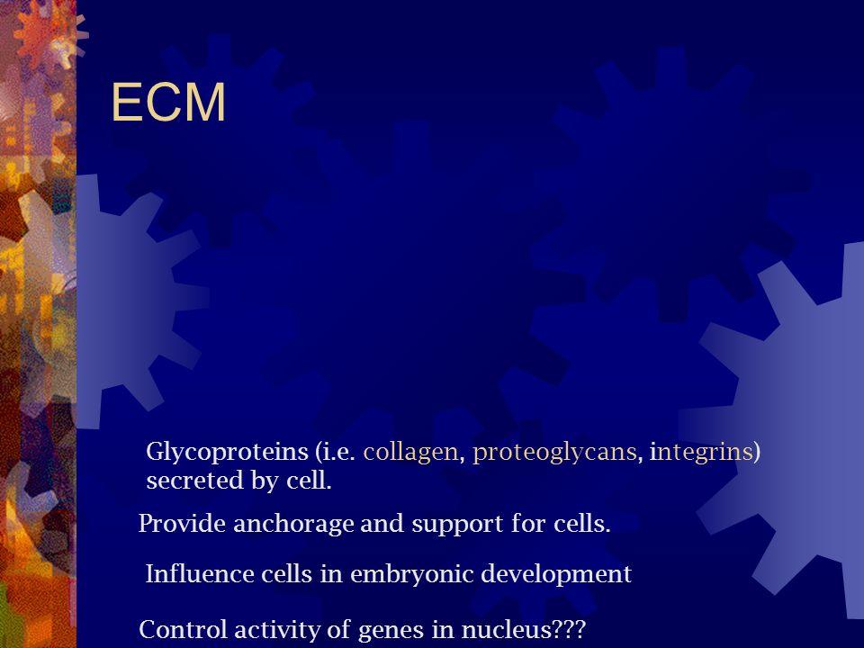 ECM Glycoproteins (i.e. collagen, proteoglycans, integrins)