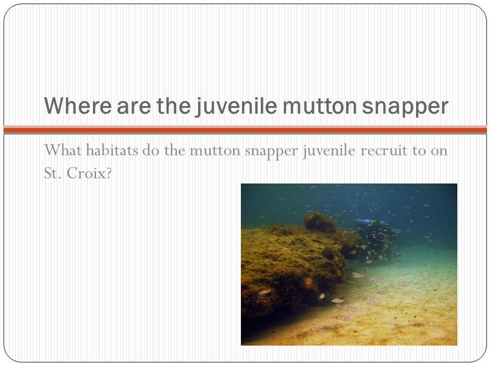 Where are the juvenile mutton snapper