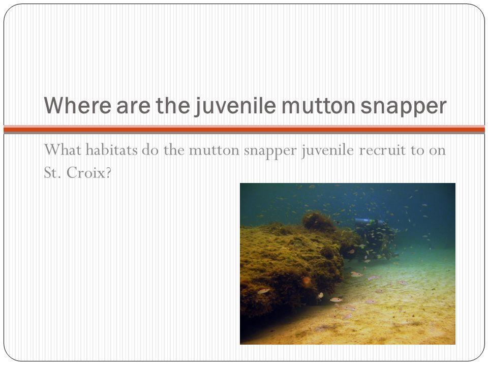 Where are the juvenile mutton snapper
