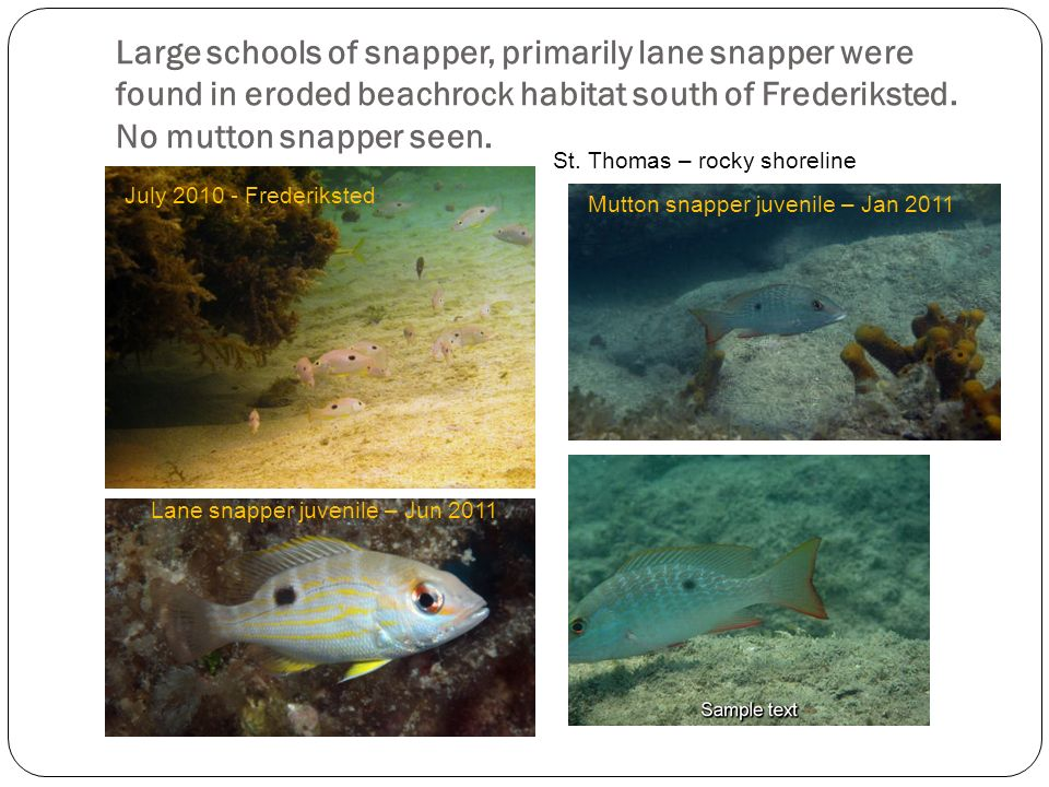 Large schools of snapper, primarily lane snapper were found in eroded beachrock habitat south of Frederiksted. No mutton snapper seen.