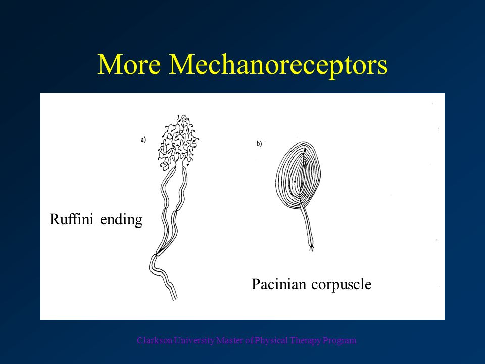 More Mechanoreceptors