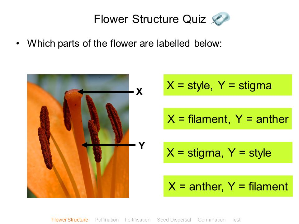 Flower Structure Quiz X = style, Y = stigma X = filament, Y = anther