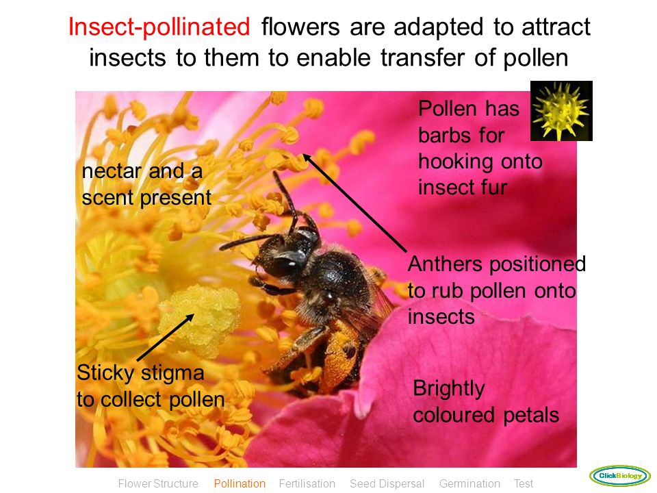 Insect-pollinated flowers are adapted to attract insects to them to enable transfer of pollen