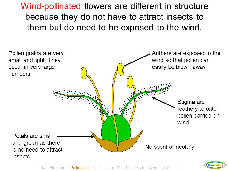 Wind-pollinated flowers are different in structure because they do not have to attract insects to them but do need to be exposed to the wind.