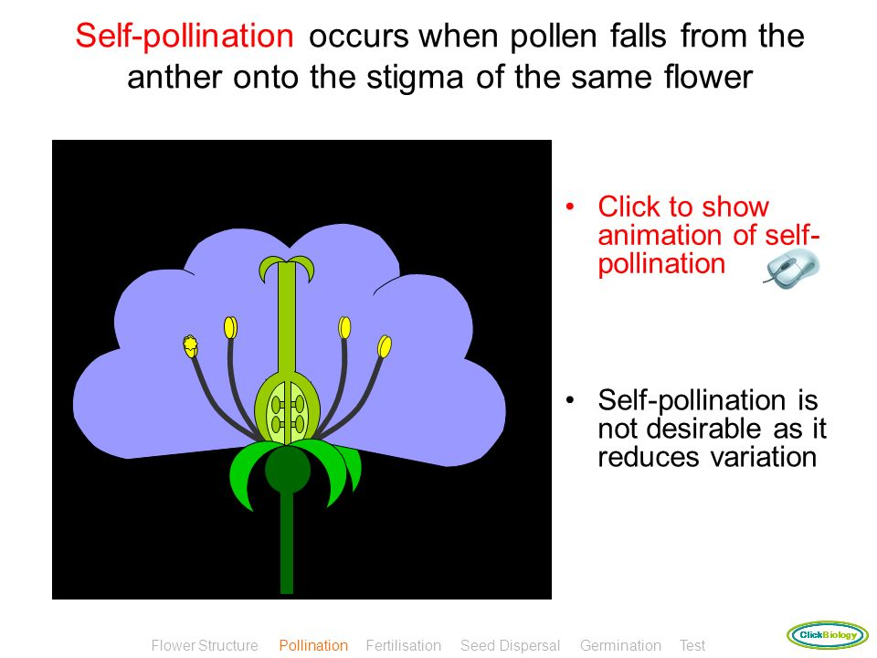 Self-pollination occurs when pollen falls from the anther onto the stigma of the same flower