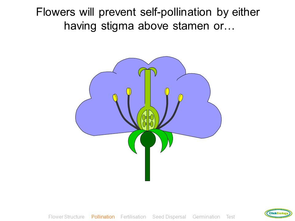 Flowers will prevent self-pollination by either having stigma above stamen or…