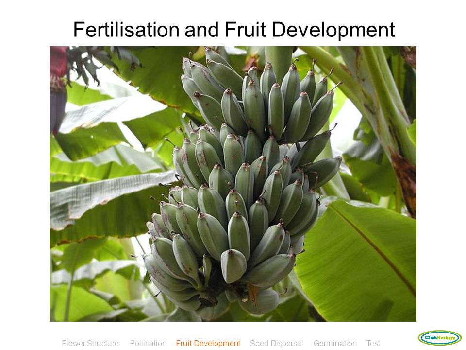 Fertilisation and Fruit Development
