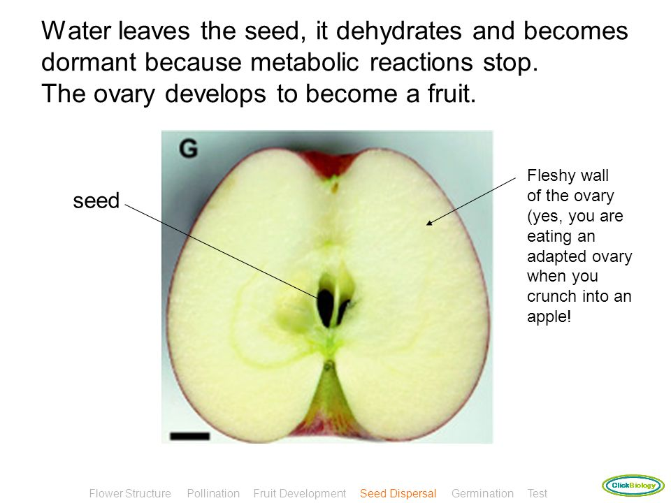 Water leaves the seed, it dehydrates and becomes dormant because metabolic reactions stop. The ovary develops to become a fruit.
