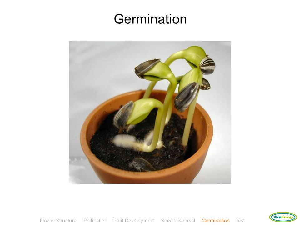 Germination Flower Structure Pollination Fruit Development Seed Dispersal Germination Test.