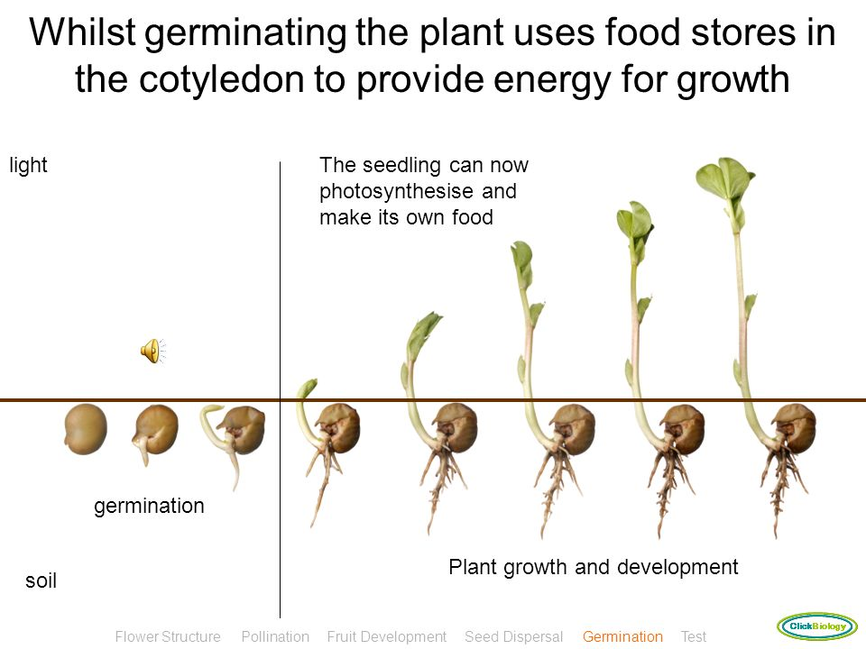 Whilst germinating the plant uses food stores in the cotyledon to provide energy for growth