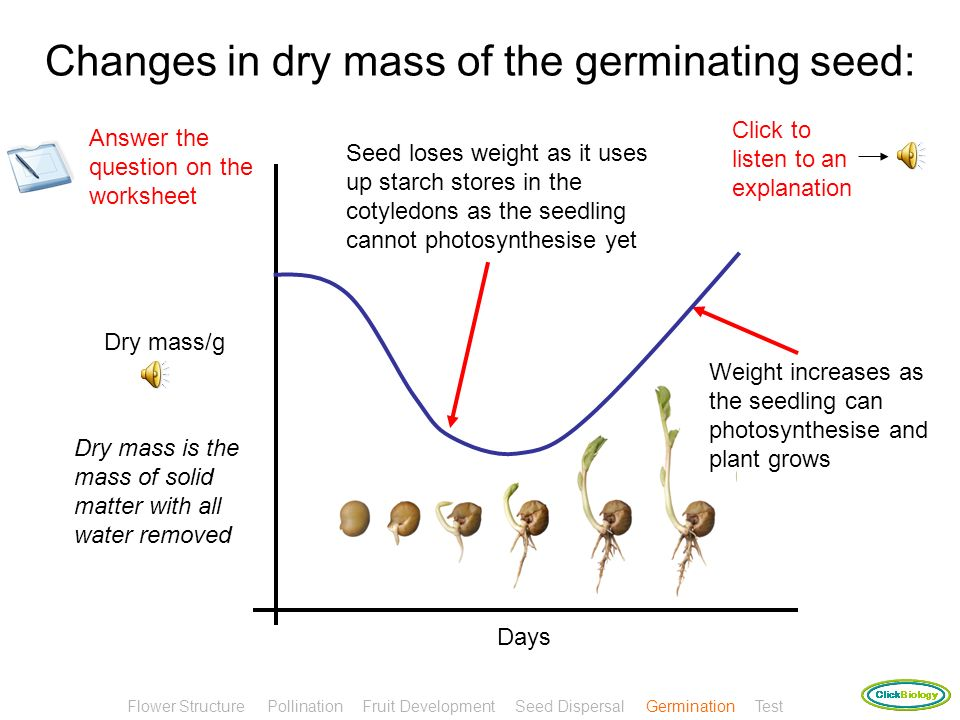Changes in dry mass of the germinating seed: