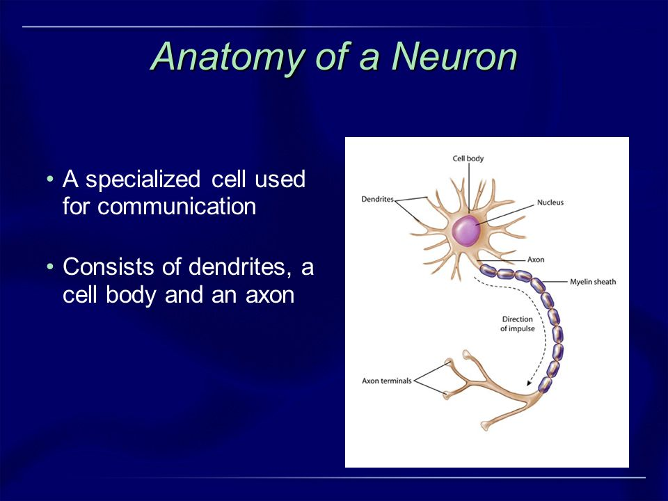 Anatomy of a Neuron A specialized cell used for communication