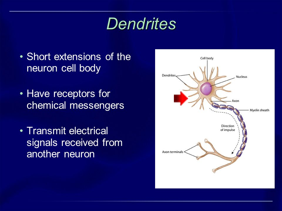 Dendrites Short extensions of the neuron cell body