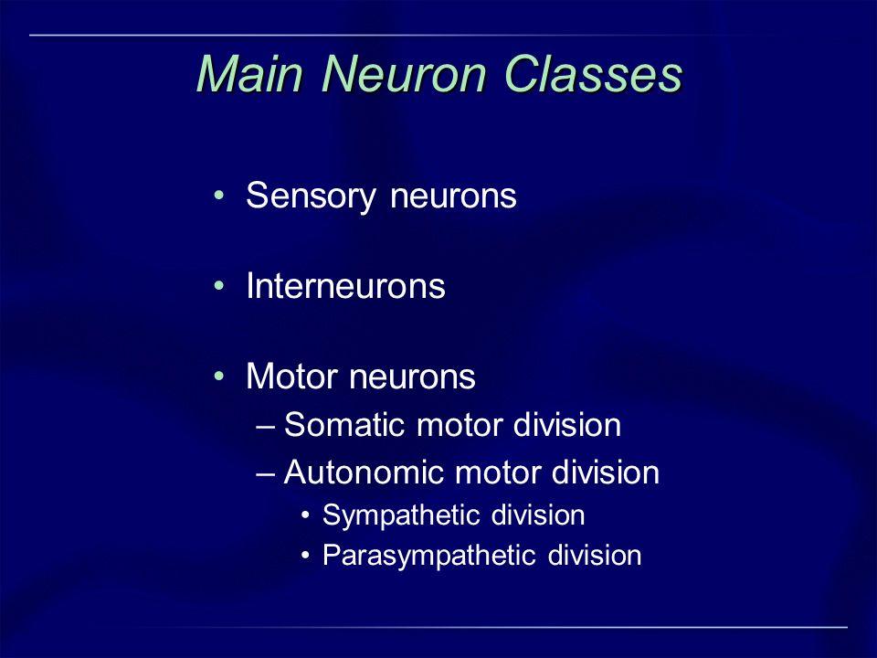 Main Neuron Classes Sensory neurons Interneurons Motor neurons