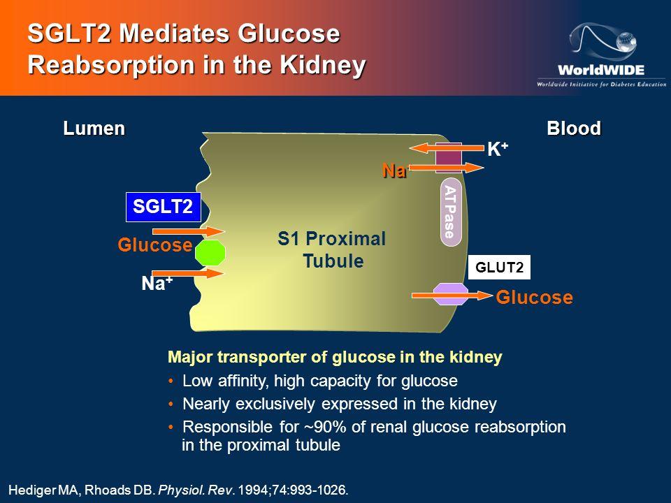 SGLT2 Mediates Glucose Reabsorption in the Kidney