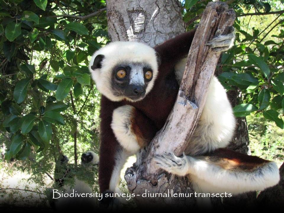 Biodiversity surveys - diurnal lemur transects