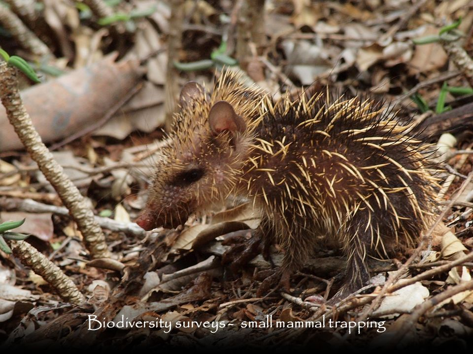 Biodiversity surveys - small mammal trapping