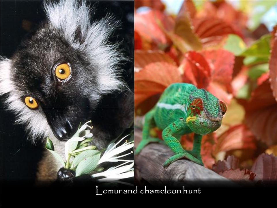 Lemur and chameleon hunt