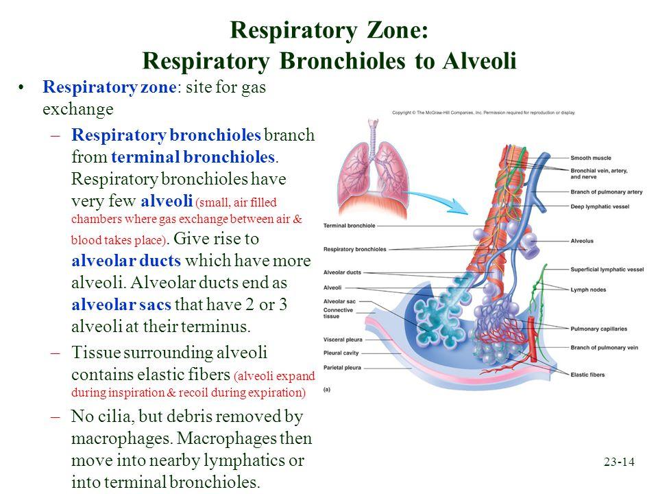 Respiratory Zone: Respiratory Bronchioles to Alveoli
