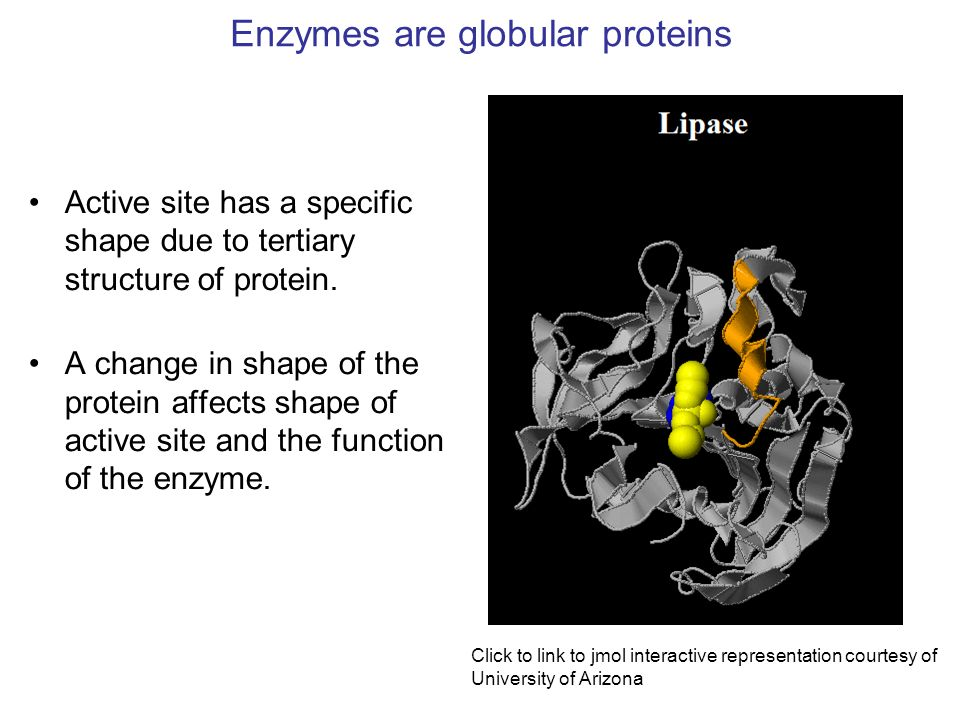 Enzymes are globular proteins