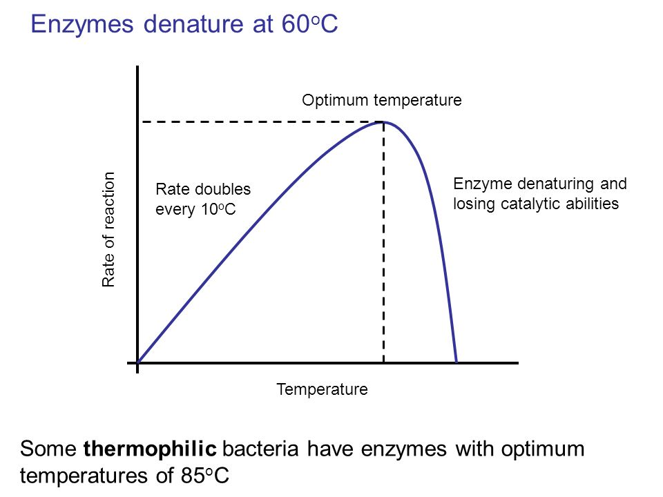 Enzymes denature at 60oC Optimum temperature. Enzyme denaturing and losing catalytic abilities. Rate doubles every 10oC.