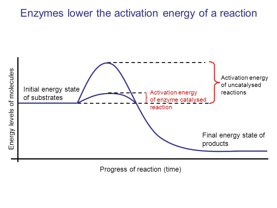 Enzymes lower the activation energy of a reaction