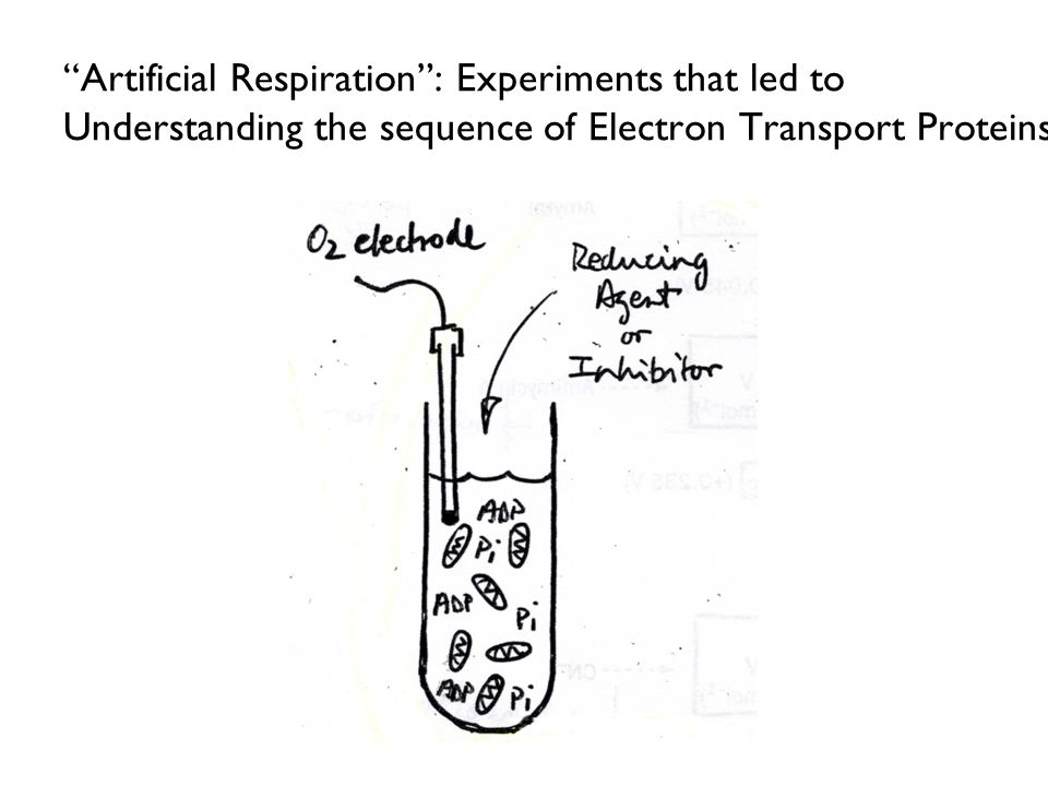 Artificial Respiration : Experiments that led to Understanding the sequence of Electron Transport Proteins