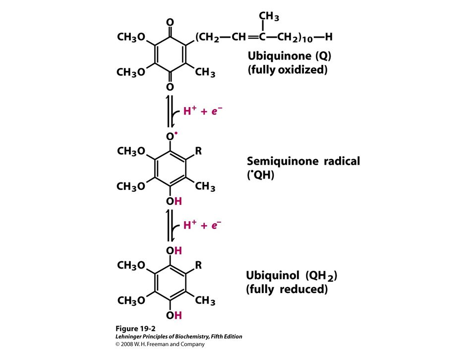 FIGURE 19-2 Ubiquinone (Q, or coenzyme Q)