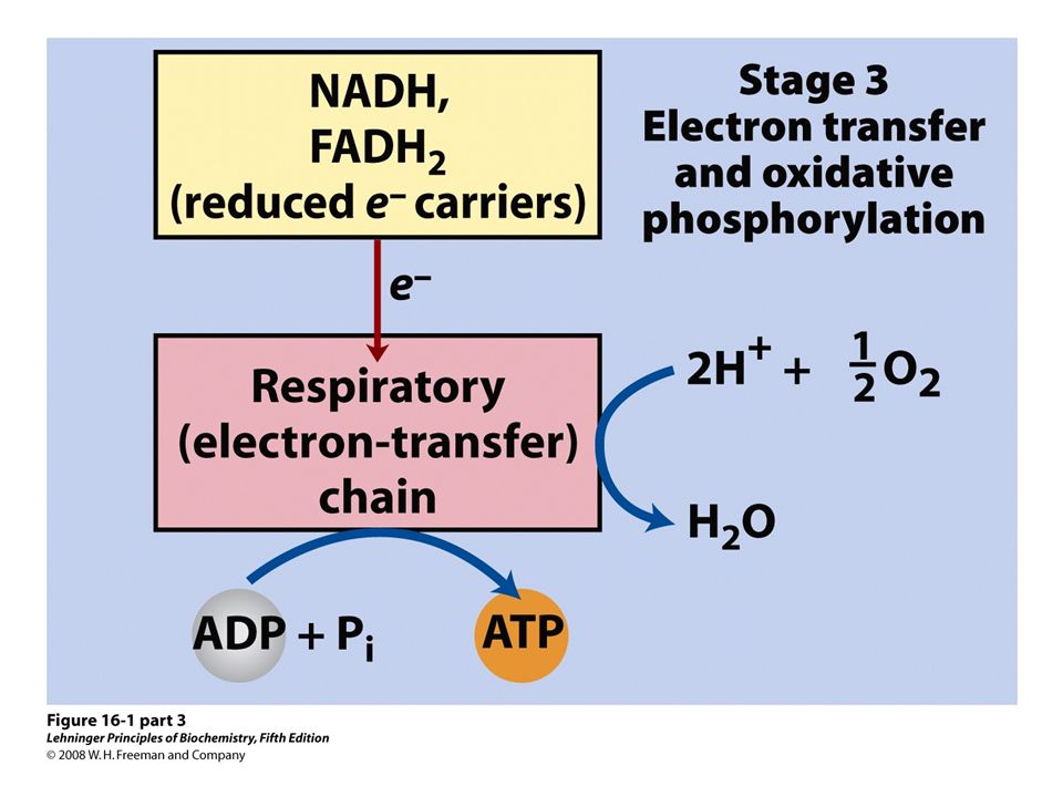 FIGURE 16-1 (part 3) Catabolism of proteins, fats, and carbohydrates in the three stages of cellular respiration.