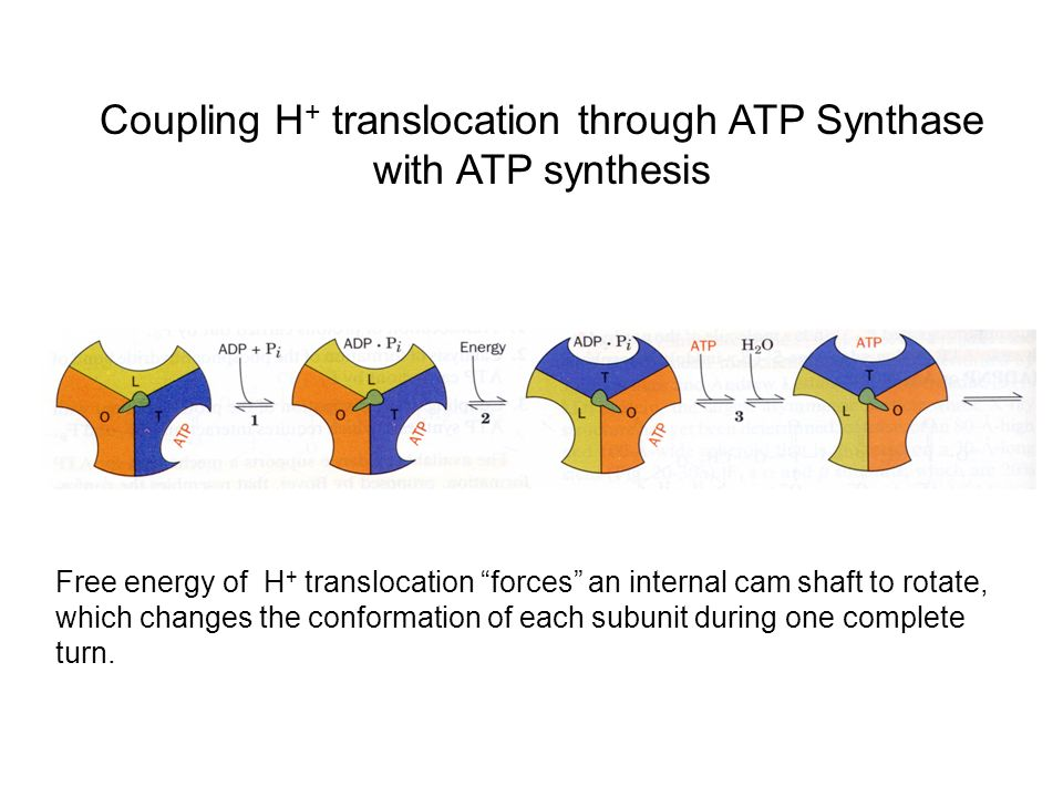 Coupling H+ translocation through ATP Synthase with ATP synthesis