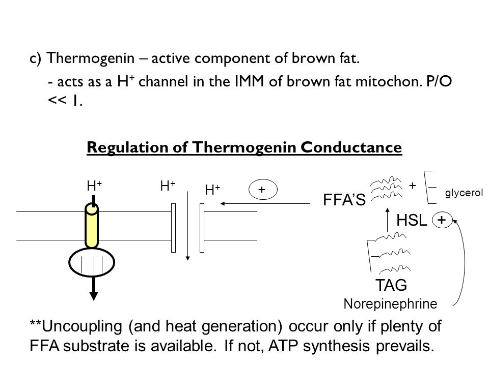 Regulation of Thermogenin Conductance
