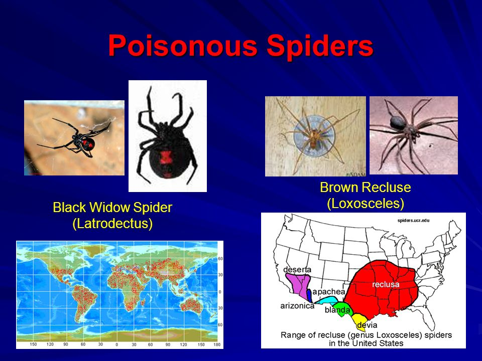 Poisonous Spiders Brown Recluse (Loxosceles)