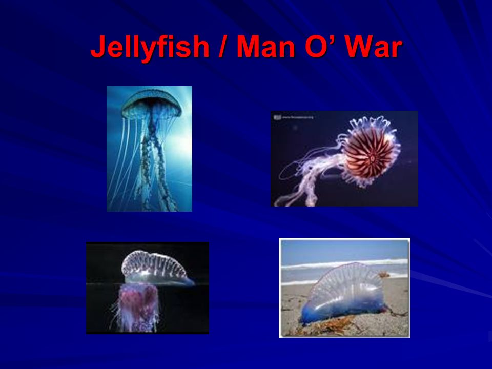 Jellyfish / Man O' War