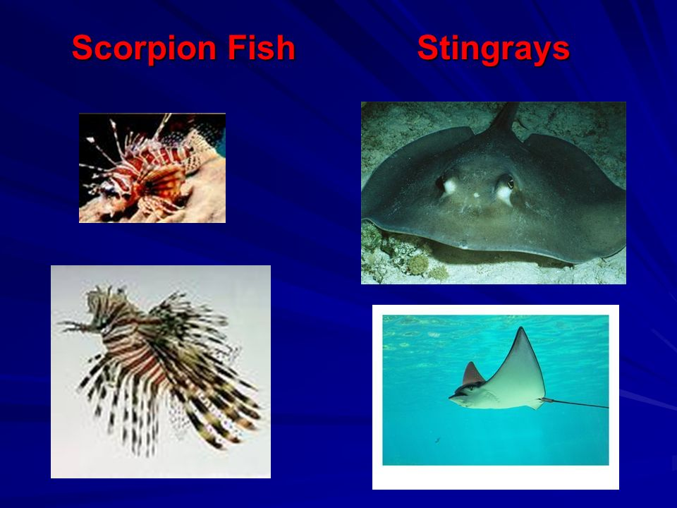 Scorpion Fish Stingrays