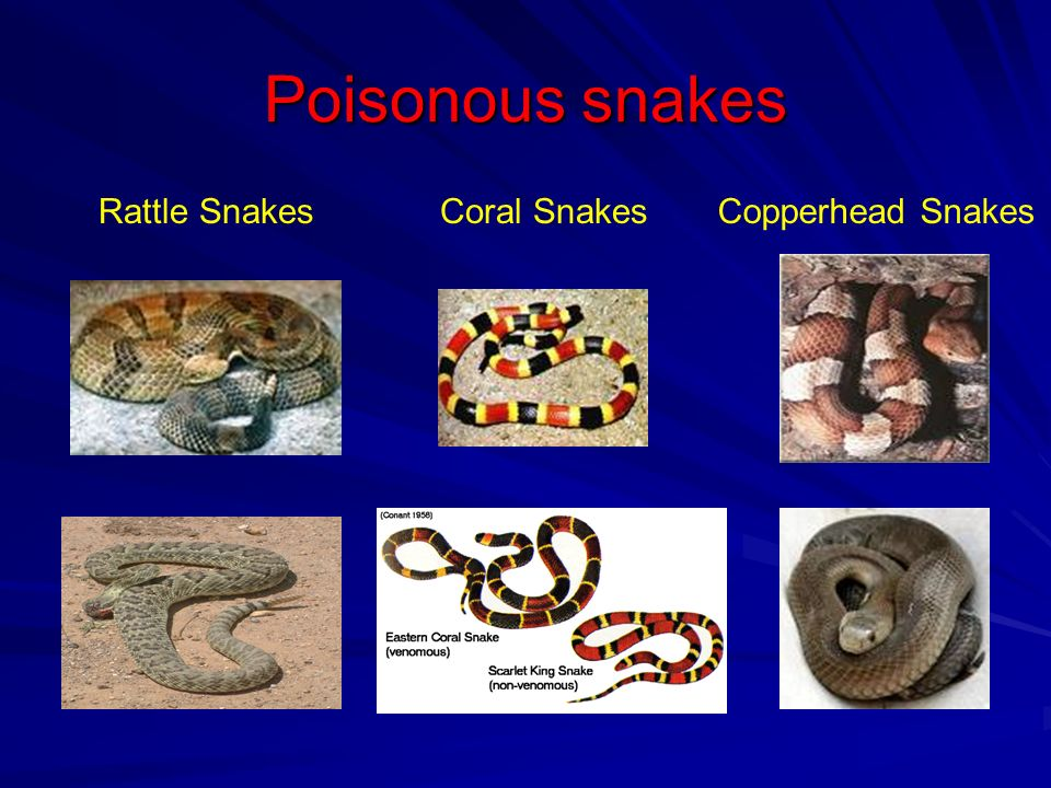 Poisonous snakes Rattle Snakes Coral Snakes Copperhead Snakes