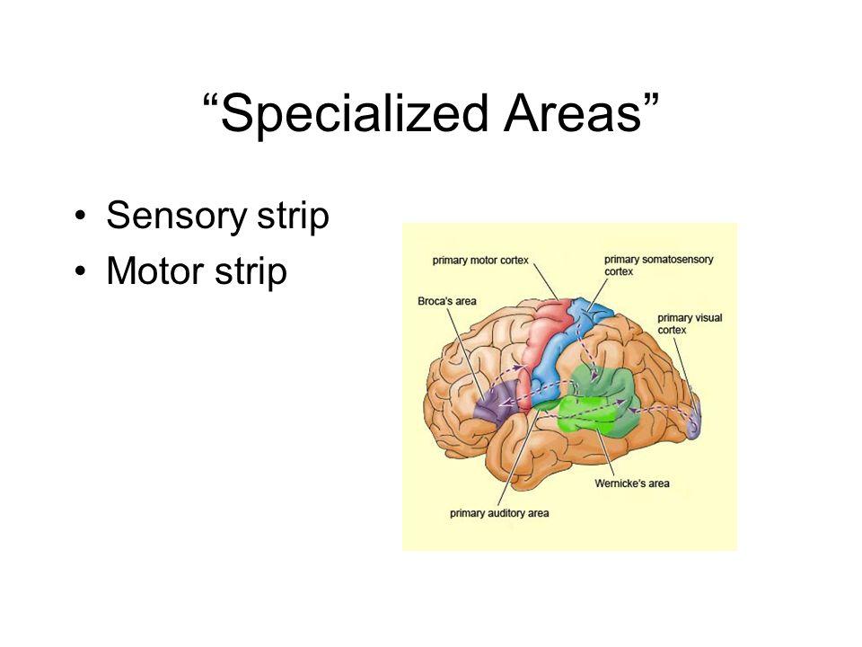 Specialized Areas Sensory strip Motor strip