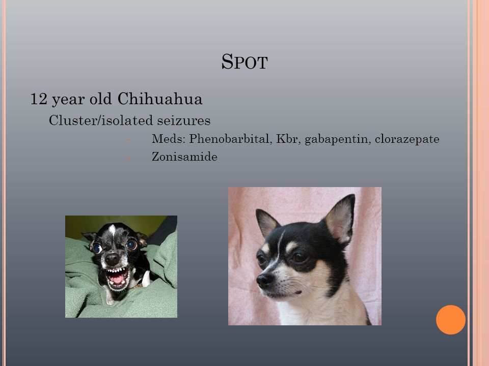 Spot 12 year old Chihuahua Cluster/isolated seizures