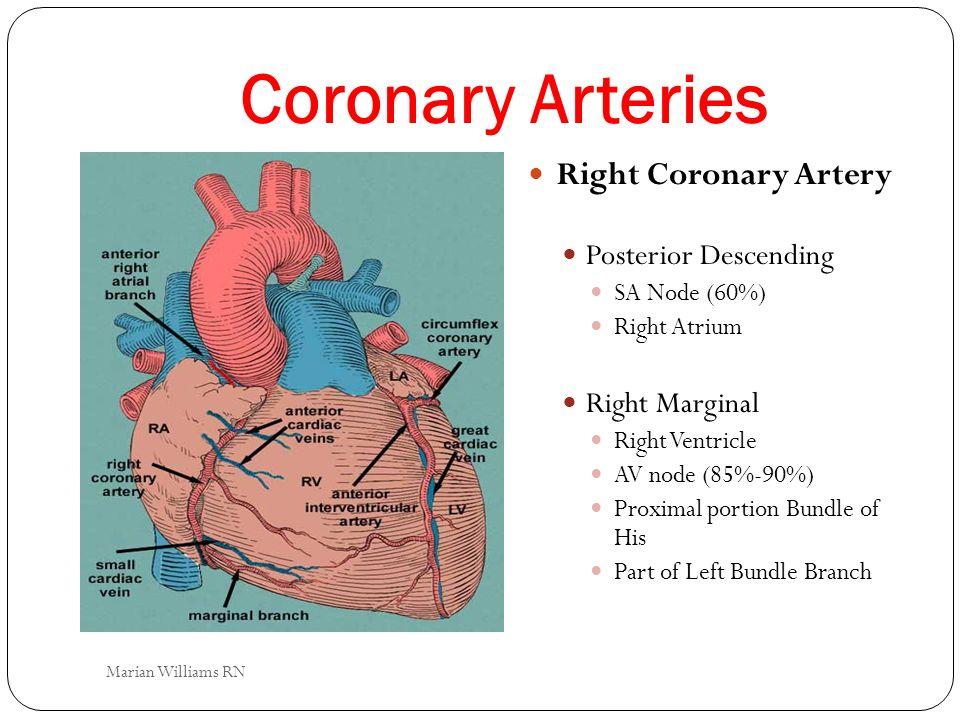 Coronary Arteries Right Coronary Artery Posterior Descending